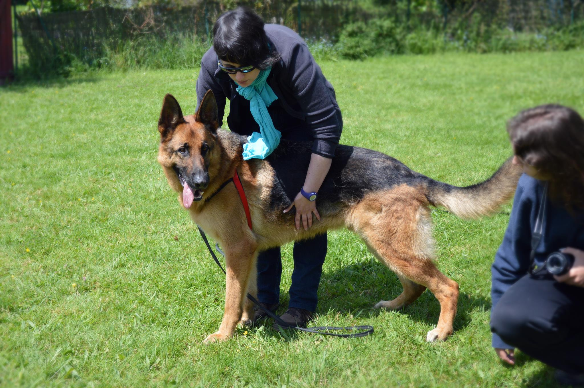 iovis , berger allemand , ars canis image , education canine 35 , dressage chien 35