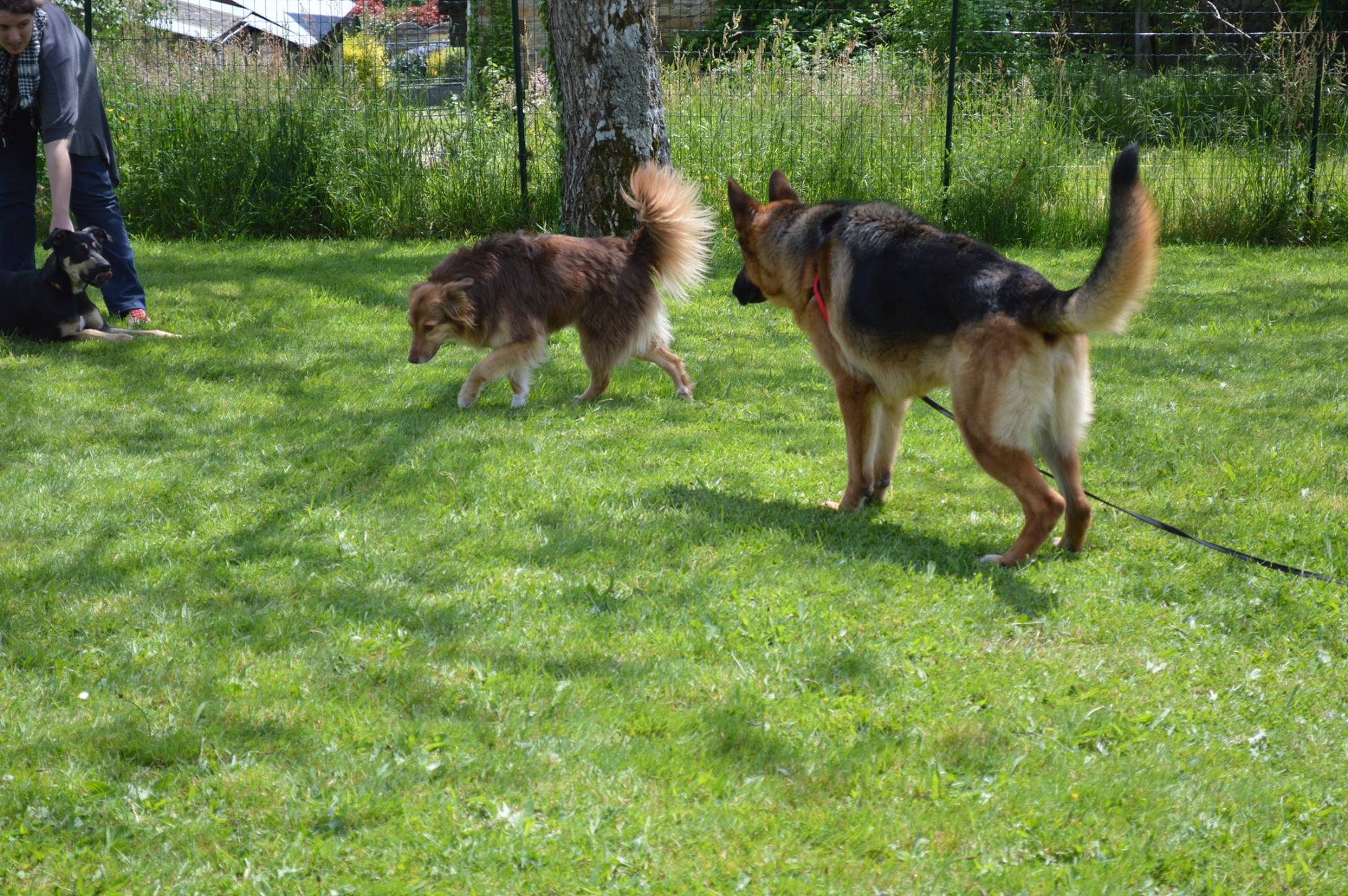 Berger allemand , education canine 35 , image ars canis , signaux d'appaisement chien