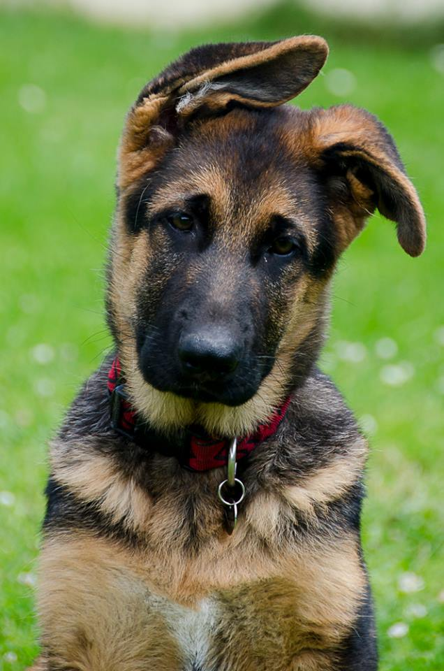 berger allemand education canine