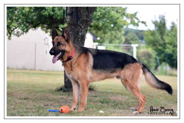 Education canine 35 , Rennes , Bain de bretagne , Berger alemand